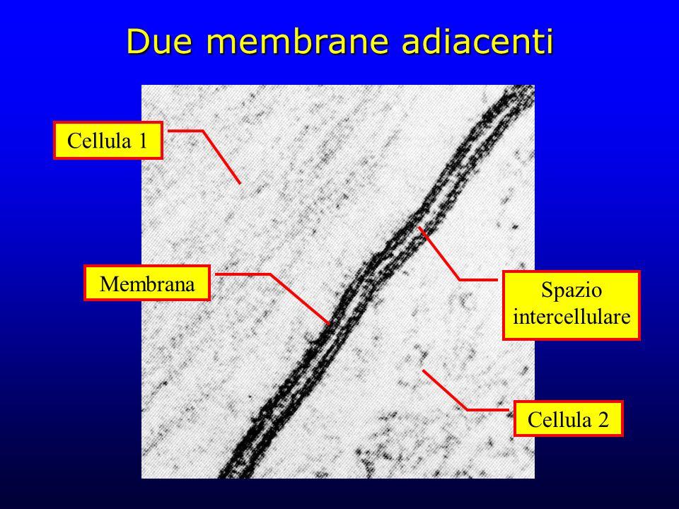 Due membrane adiacenti Cellula 1 Cellula 2 Membrana Spazio intercellulare
