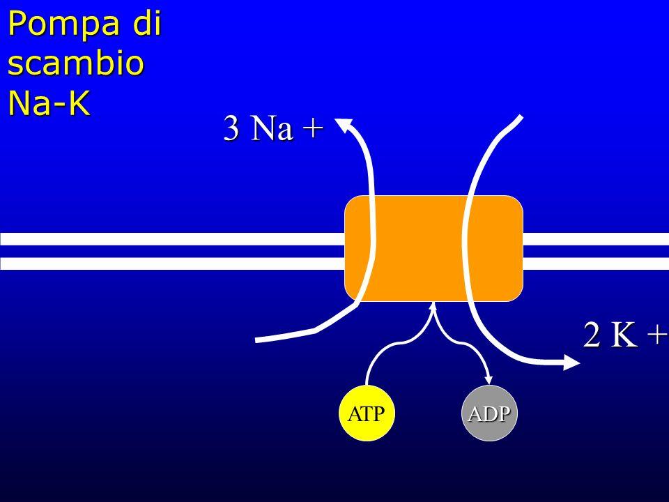 Pompa di scambio Na-K 3 Na + 2 K + ATPADP