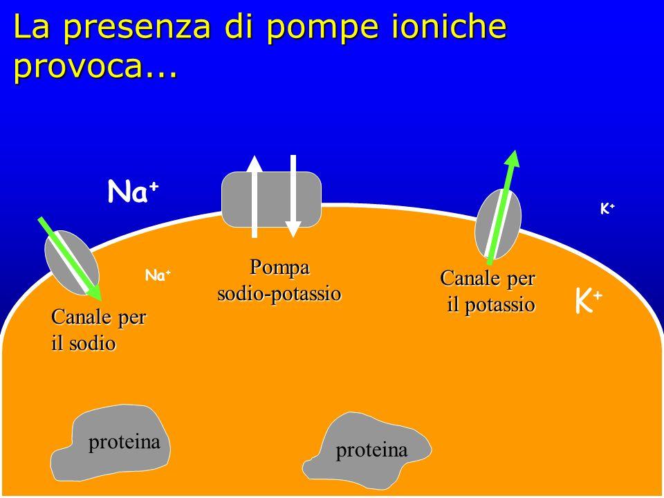 La presenza di pompe ioniche provoca... proteina Canale per il sodio Pompa sodio-potassio Canale per il potassio K+K+ K+K+ Na +