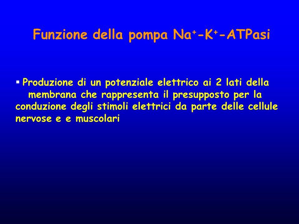 Funzione della pompa Na + -K + -ATPasi  Produzione di un potenziale elettrico ai 2 lati della membrana che rappresenta il presupposto per la conduzio
