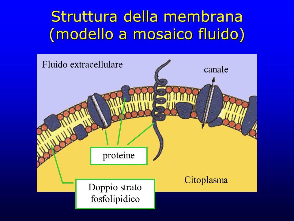 Struttura della membrana (modello a mosaico fluido) Citoplasma Fluido extracellulare Doppio strato fosfolipidico proteine canale