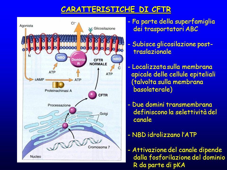 - Fa parte della superfamiglia dei trasportatori ABC - Subisce glicosilazione post- traslazionale - Localizzata sulla membrana apicale delle cellule e