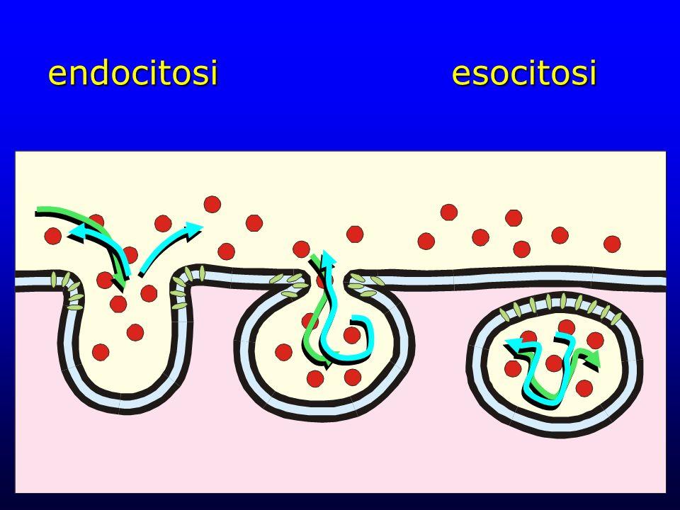 endocitosiesocitosi