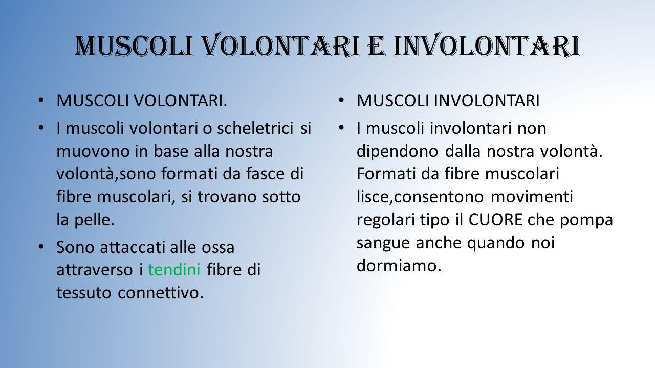 Muscoli volontari e involontari MUSCOLI VOLONTARI. I muscoli volontari o scheletrici si muovono in base alla nostra volontà,sono formati da fasce di f