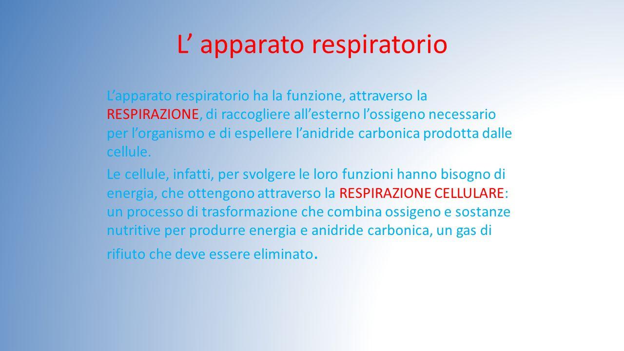 L' apparato respiratorio L'apparato respiratorio ha la funzione, attraverso la RESPIRAZIONE, di raccogliere all'esterno l'ossigeno necessario per l'or
