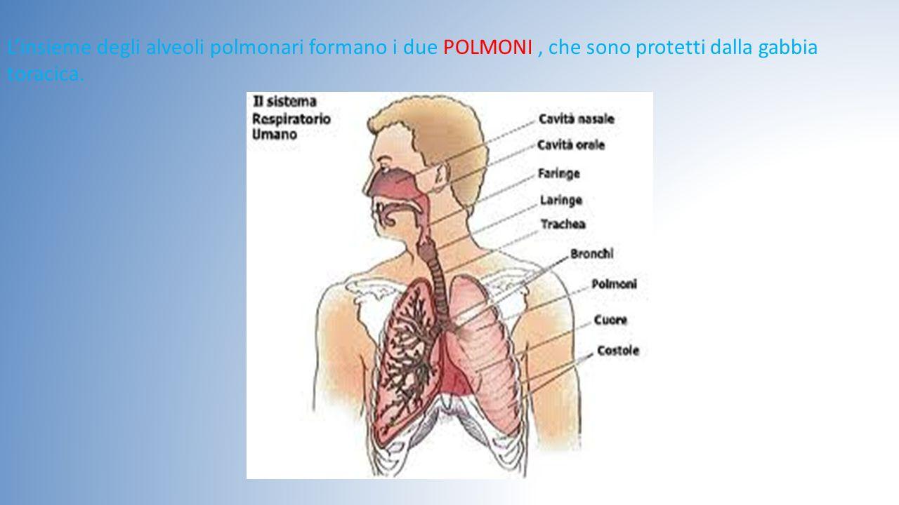 L'insieme degli alveoli polmonari formano i due POLMONI, che sono protetti dalla gabbia toracica.
