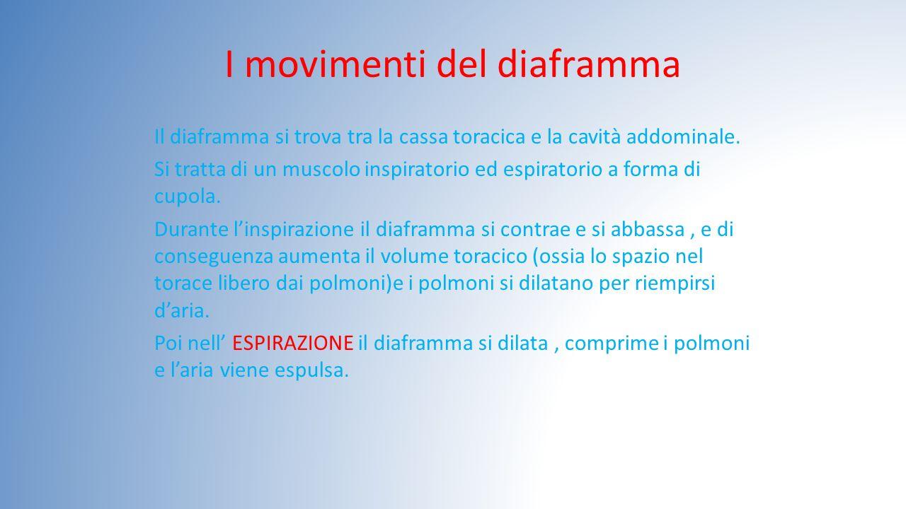 I movimenti del diaframma Il diaframma si trova tra la cassa toracica e la cavità addominale. Si tratta di un muscolo inspiratorio ed espiratorio a fo