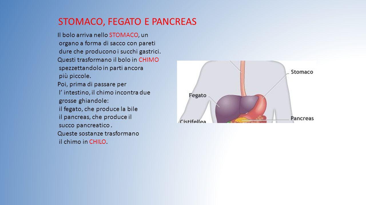 STOMACO, FEGATO E PANCREAS Il bolo arriva nello STOMACO, un organo a forma di sacco con pareti dure che producono i succhi gastrici. Questi trasforman