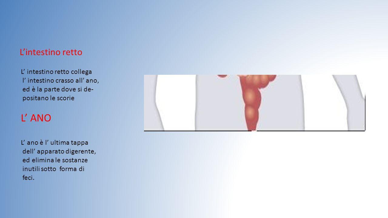 L'intestino retto L' intestino retto collega l' intestino crasso all' ano, ed è la parte dove si de- positano le scorie L' ANO L' ano è l' ultima tapp