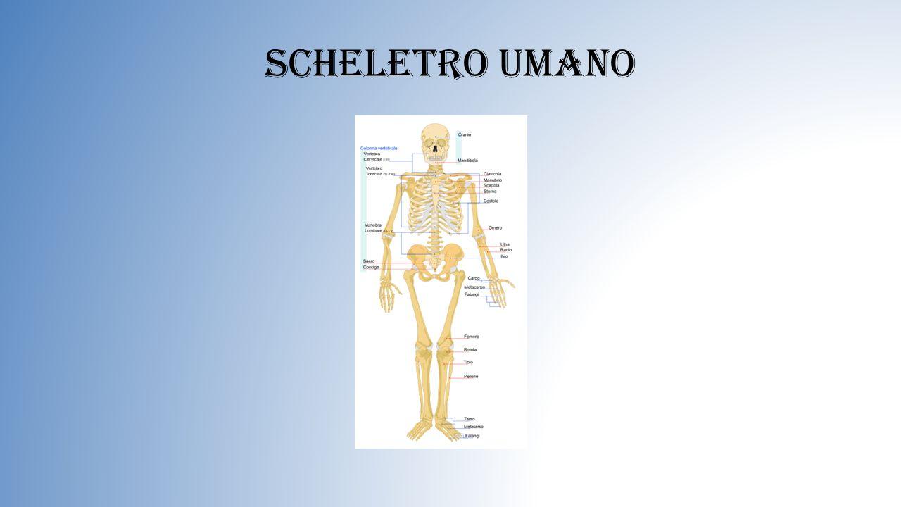Le ossa lunghe Le ossa lunghe sono quelle delle braccia e delle gambe; Si dividono in: Arti superiori che sono quelli del braccio,avambraccio e della mano.