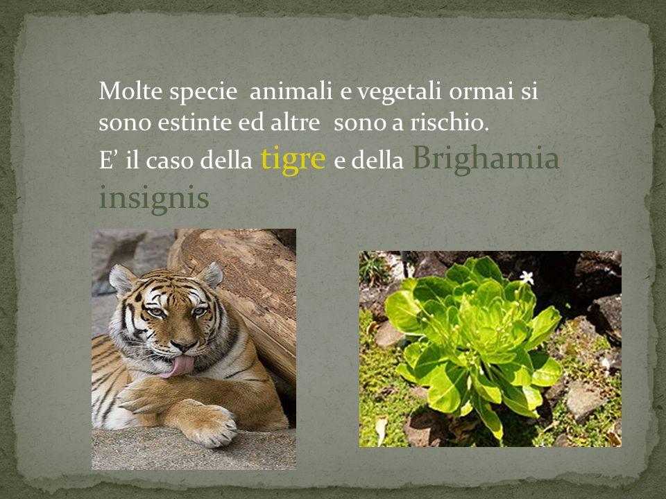 Molte specie animali e vegetali ormai si sono estinte ed altre sono a rischio. E' il caso della tigre e della Brighamia insignis