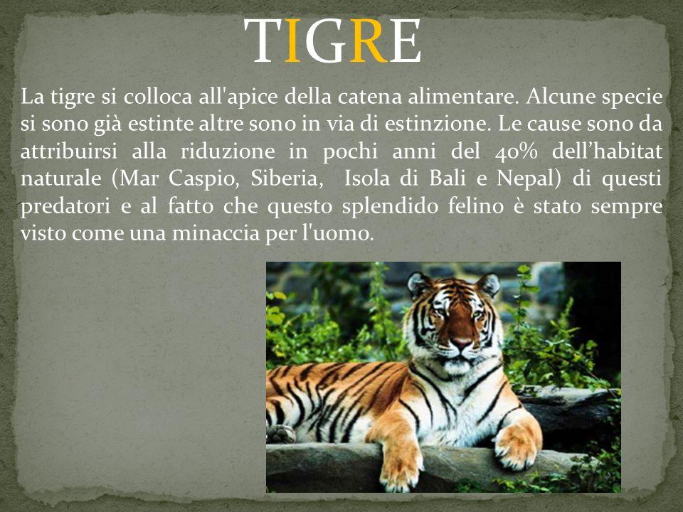 La tigre si colloca all'apice della catena alimentare. Alcune specie si sono già estinte altre sono in via di estinzione. Le cause sono da attribuirsi