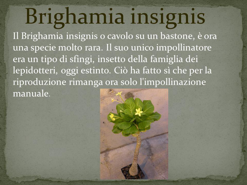 Il Brighamia insignis o cavolo su un bastone, è ora una specie molto rara. Il suo unico impollinatore era un tipo di sfingi, insetto della famiglia de