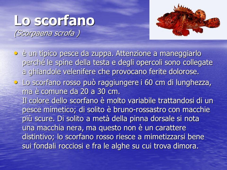 Lo scorfano (Scorpaena scrofa ) Lo scorfano (Scorpaena scrofa ) è un tipico pesce da zuppa.