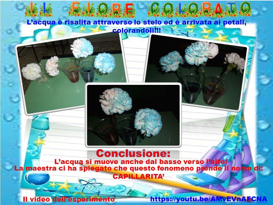 L'acqua è risalita attraverso lo stelo ed è arrivata ai petali, colorandoli!!! Il video dell'esperimento La maestra ci ha spiegato che questo fenomeno
