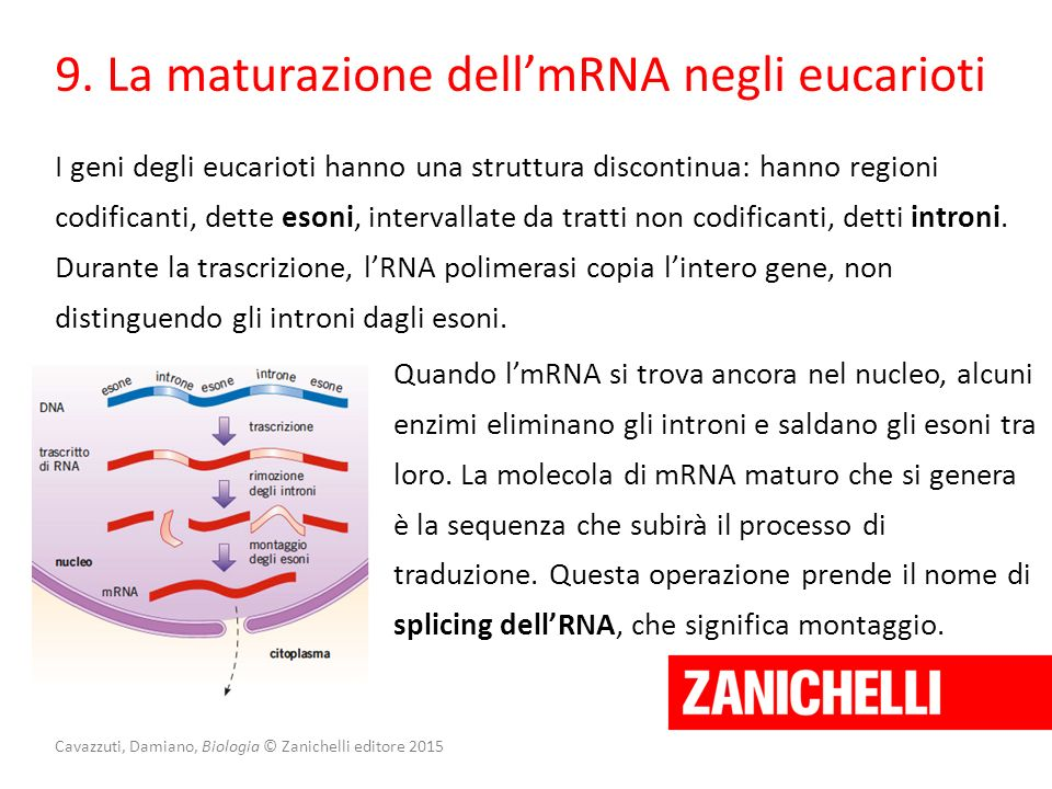 Cavazzuti, Damiano, Biologia © Zanichelli editore 2015 9. La maturazione dell'mRNA negli eucarioti I geni degli eucarioti hanno una struttura disconti