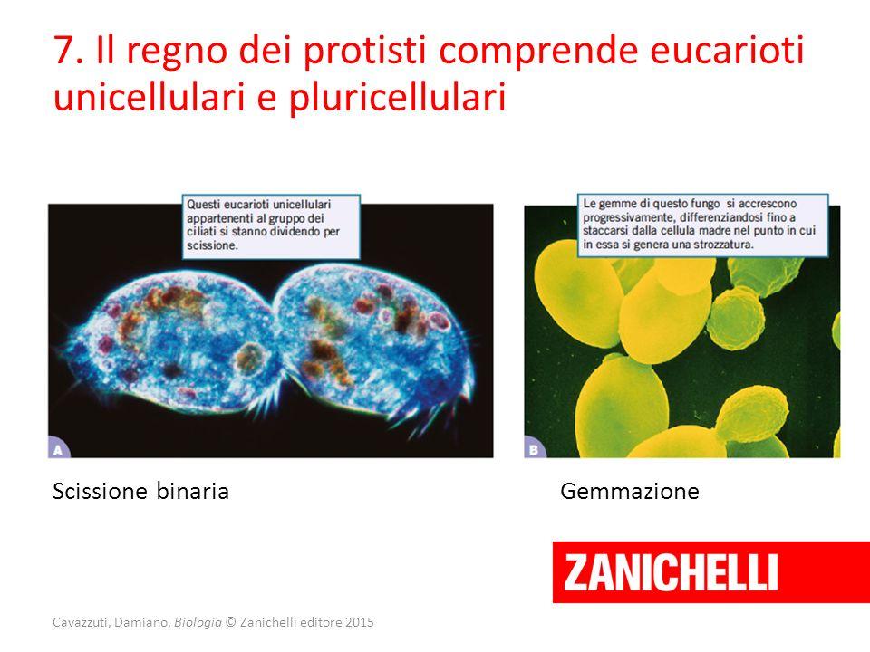 Cavazzuti, Damiano, Biologia © Zanichelli editore 2015 7. Il regno dei protisti comprende eucarioti unicellulari e pluricellulari Scissione binariaGem