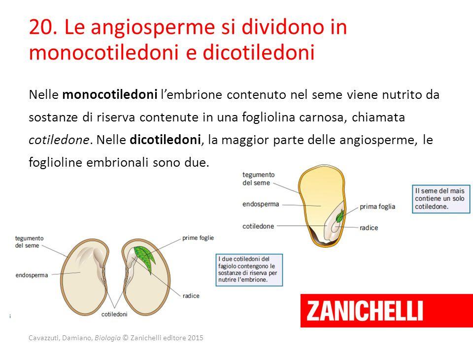 Cavazzuti, Damiano, Biologia © Zanichelli editore 2015 20. Le angiosperme si dividono in monocotiledoni e dicotiledoni Nelle monocotiledoni l'embrione