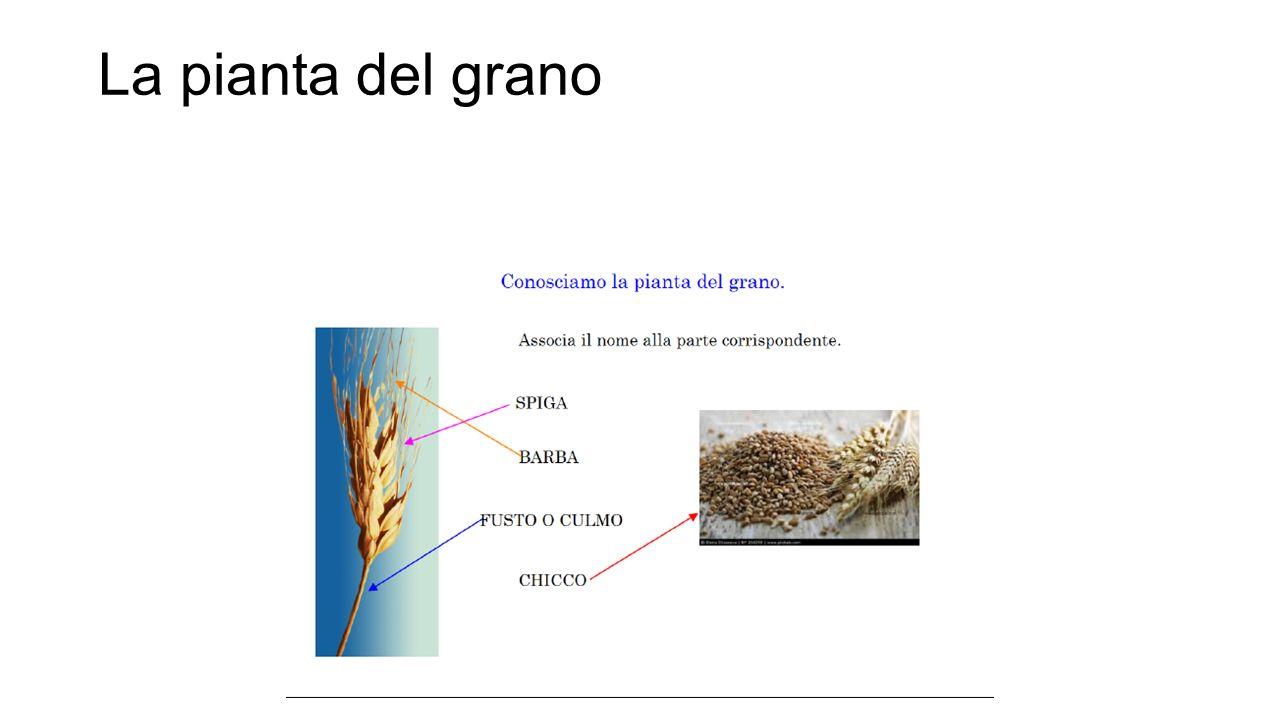 La pianta del grano