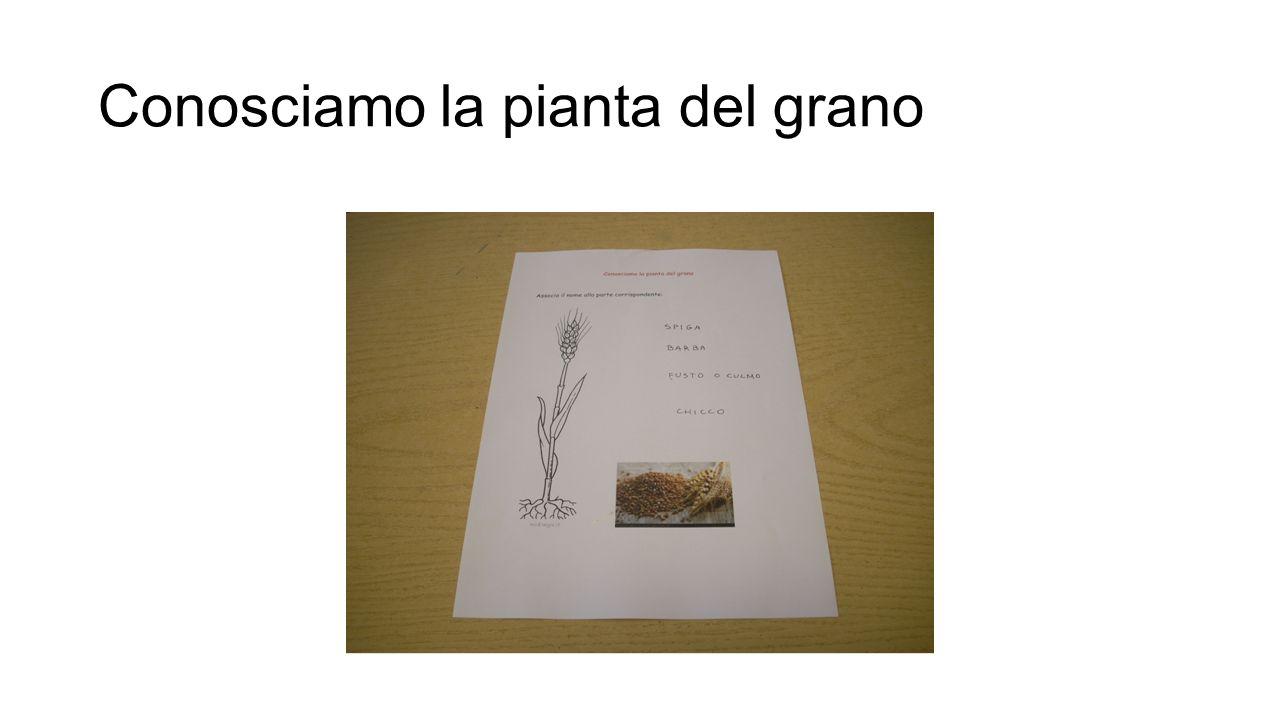 Conosciamo la pianta del grano