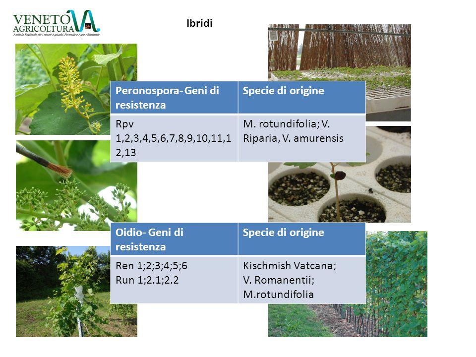 Ibridi Peronospora- Geni di resistenza Specie di origine Rpv 1,2,3,4,5,6,7,8,9,10,11,1 2,13 M. rotundifolia; V. Riparia, V. amurensis Oidio- Geni di r