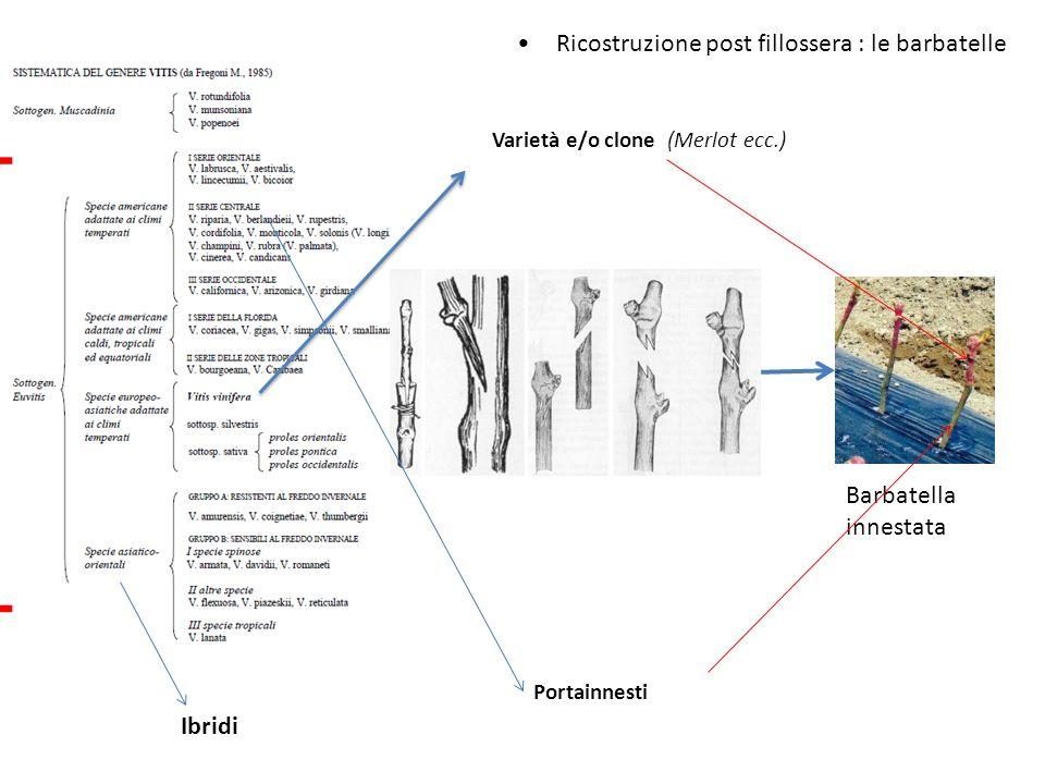 Ricostruzione post fillossera : le barbatelle Varietà e/o clone (Merlot ecc.) Barbatella innestata Portainnesti Ibridi