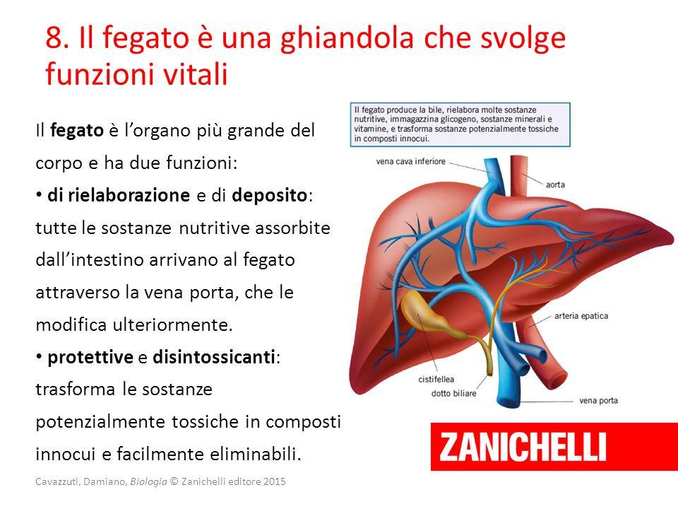 Cavazzuti, Damiano, Biologia © Zanichelli editore 2015 8. Il fegato è una ghiandola che svolge funzioni vitali Il fegato è l'organo più grande del cor