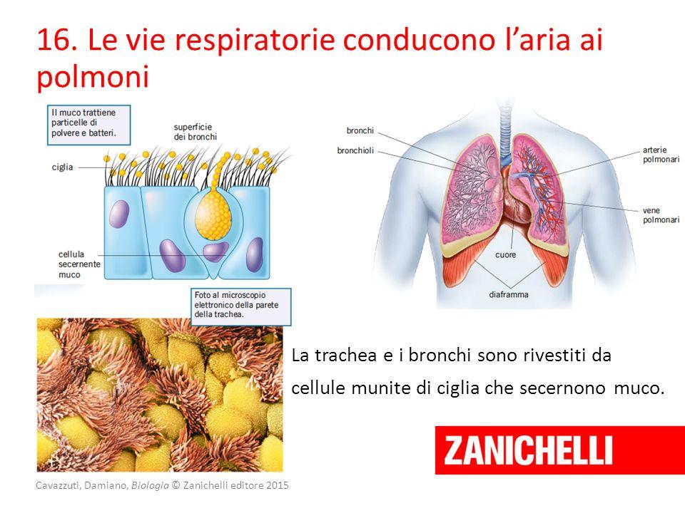Cavazzuti, Damiano, Biologia © Zanichelli editore 2015 16. Le vie respiratorie conducono l'aria ai polmoni La trachea e i bronchi sono rivestiti da ce