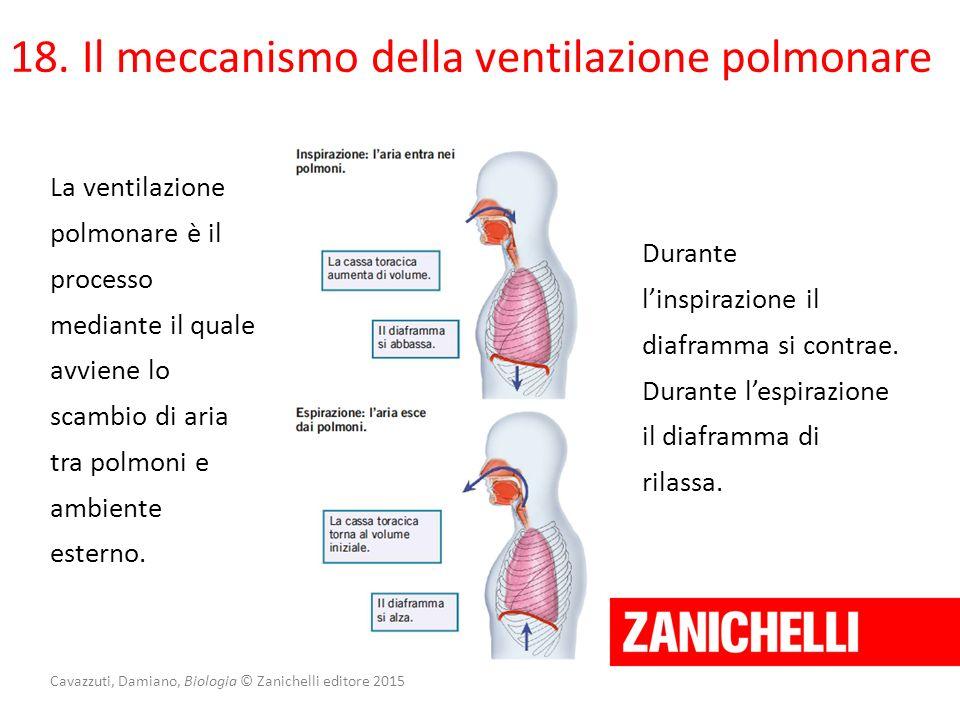 Cavazzuti, Damiano, Biologia © Zanichelli editore 2015 18. Il meccanismo della ventilazione polmonare La ventilazione polmonare è il processo mediante