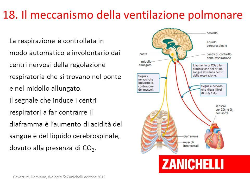 Cavazzuti, Damiano, Biologia © Zanichelli editore 2015 18. Il meccanismo della ventilazione polmonare La respirazione è controllata in modo automatico