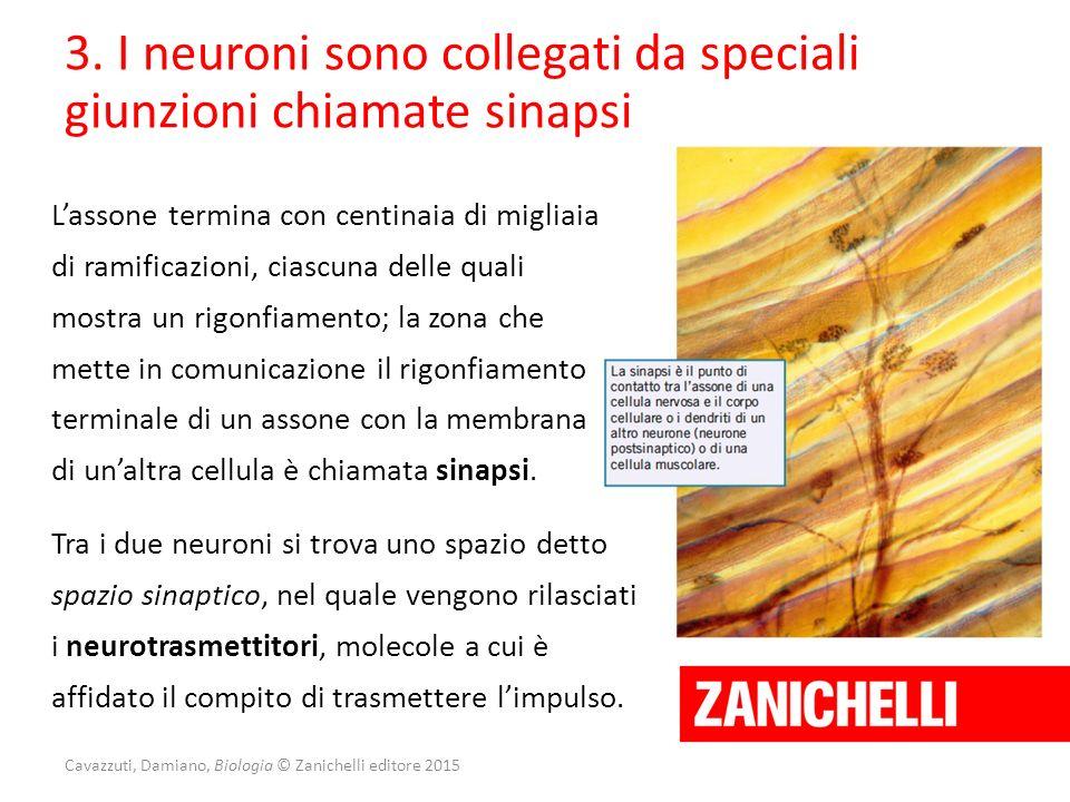 Cavazzuti, Damiano, Biologia © Zanichelli editore 2015 3. I neuroni sono collegati da speciali giunzioni chiamate sinapsi L'assone termina con centina
