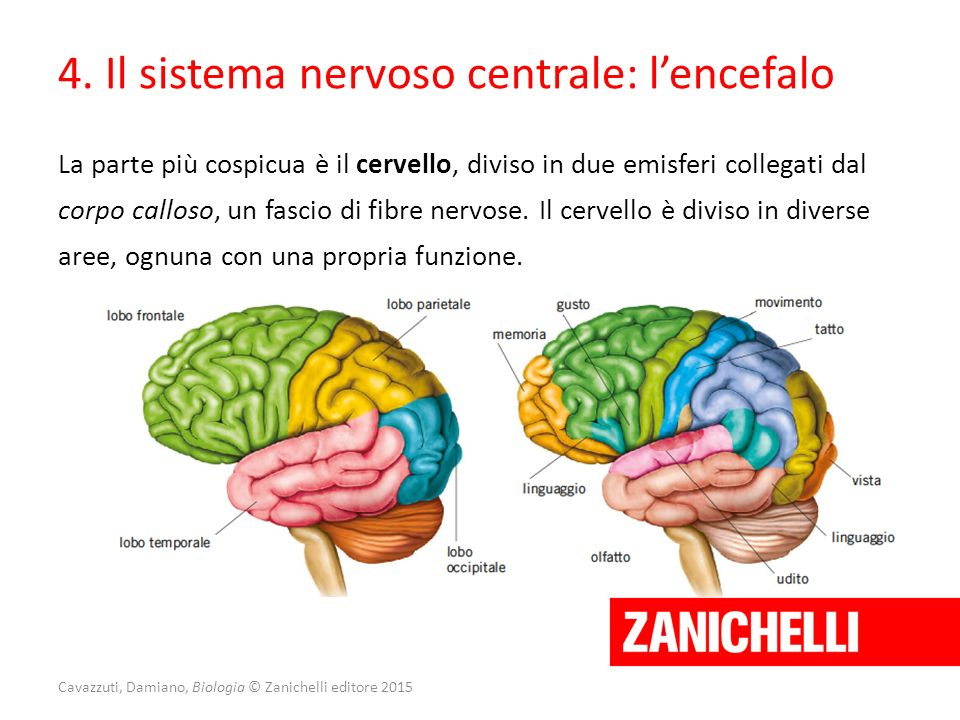 Cavazzuti, Damiano, Biologia © Zanichelli editore 2015 La parte più cospicua è il cervello, diviso in due emisferi collegati dal corpo calloso, un fas