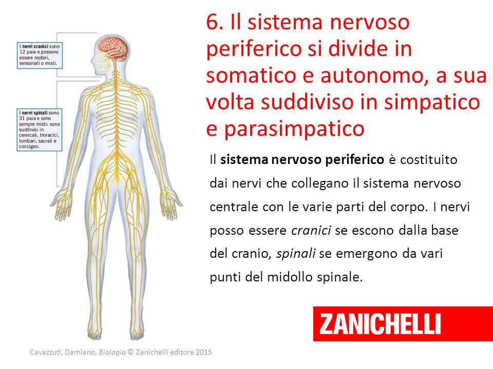 Cavazzuti, Damiano, Biologia © Zanichelli editore 2015 6. Il sistema nervoso periferico si divide in somatico e autonomo, a sua volta suddiviso in sim