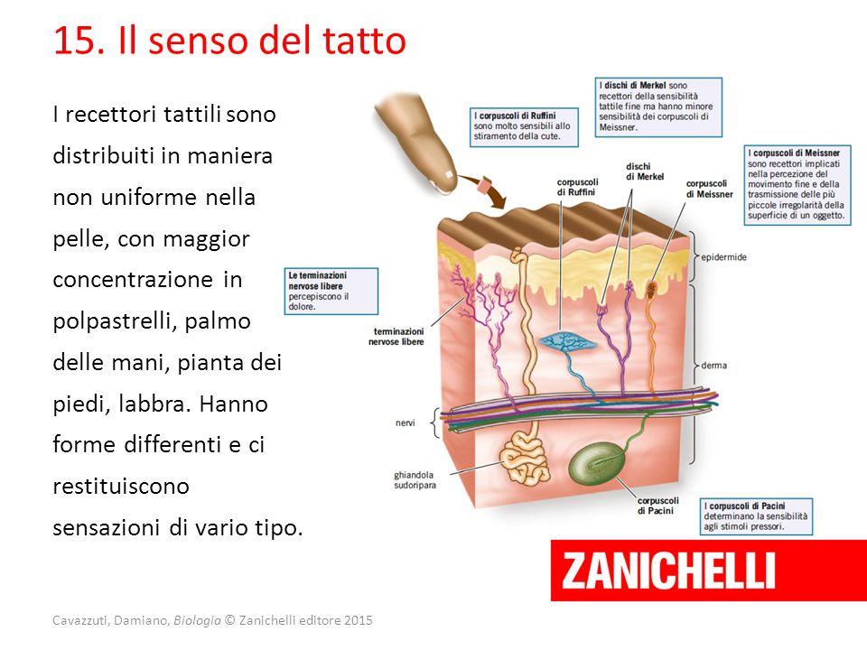 Cavazzuti, Damiano, Biologia © Zanichelli editore 2015 15. Il senso del tatto I recettori tattili sono distribuiti in maniera non uniforme nella pelle