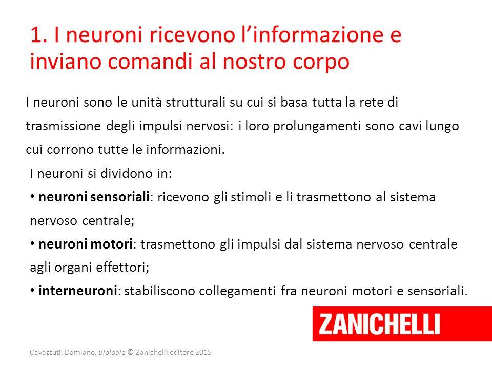 1. I neuroni ricevono l'informazione e inviano comandi al nostro corpo I neuroni sono le unità strutturali su cui si basa tutta la rete di trasmission