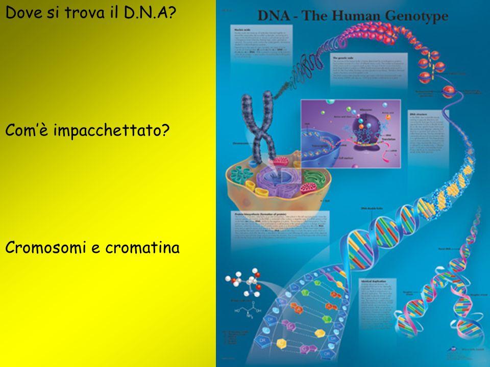 Dove si trova il D.N.A? Com'è impacchettato? Cromosomi e cromatina