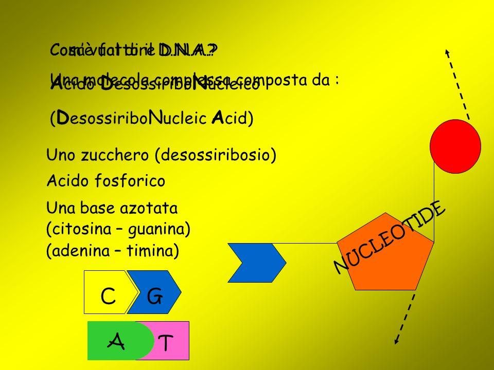 T Cosa vuol dire D.N.A.? A cido D esossiribo N ucleico ( D esossiribo N ucleic A cid) Com'è fatto il D.N.A.? Una molecola complessa composta da : Uno