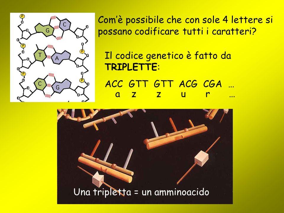 Com'è possibile che con sole 4 lettere si possano codificare tutti i caratteri? Il codice genetico è fatto da TRIPLETTE: ACC GTT GTT ACG CGA … a z z u