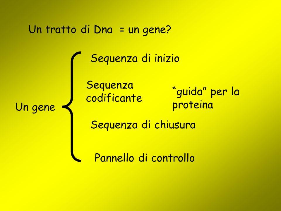 """Un tratto di Dna = un gene? Un gene Sequenza codificante """"guida"""" per la proteina Sequenza di inizio Sequenza di chiusura Pannello di controllo"""
