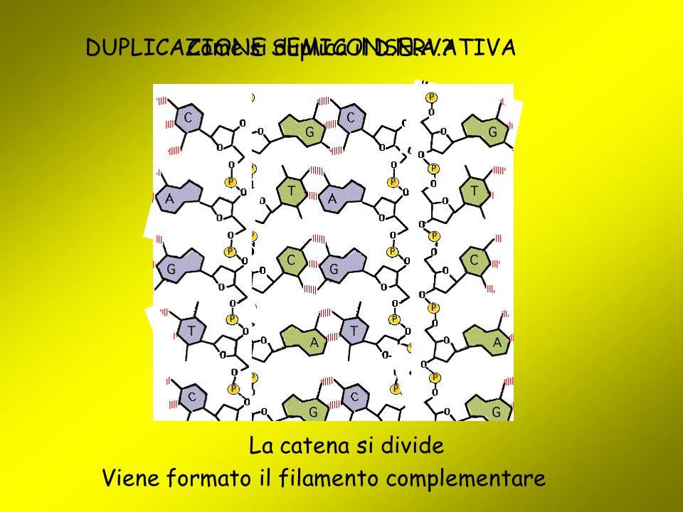 Come si duplica il D.N.A.? La catena si divide Viene formato il filamento complementare DUPLICAZIONE SEMICONSERVATIVA