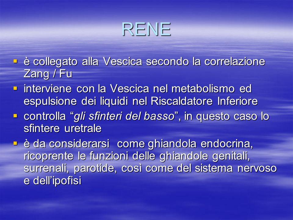 RENE  è collegato alla Vescica secondo la correlazione Zang / Fu  interviene con la Vescica nel metabolismo ed espulsione dei liquidi nel Riscaldato