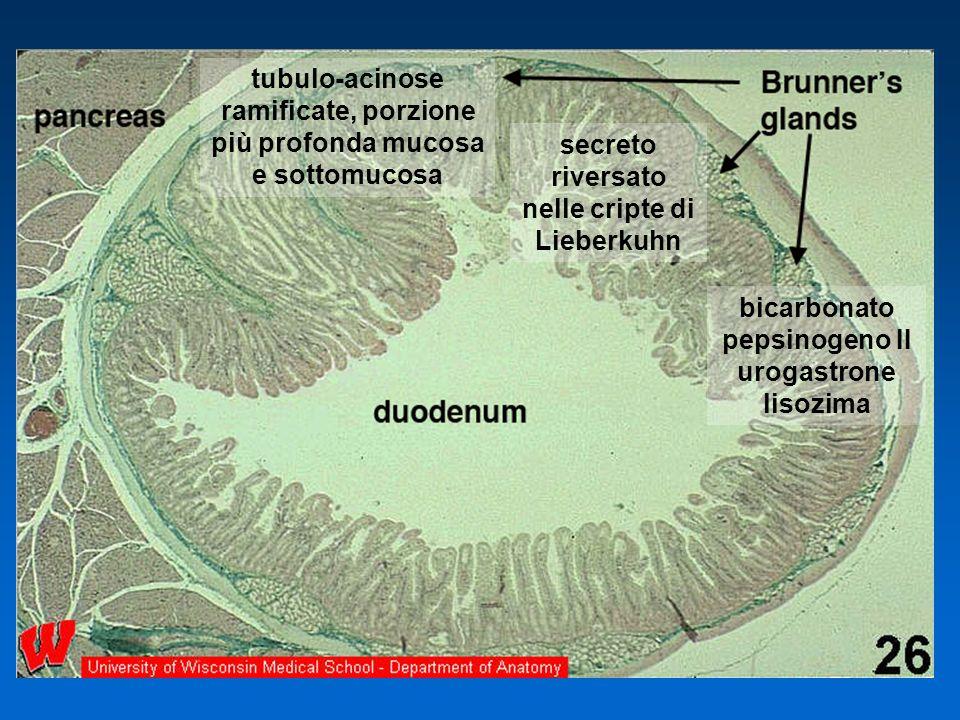 bicarbonato pepsinogeno II urogastrone lisozima tubulo-acinose ramificate, porzione più profonda mucosa e sottomucosa secreto riversato nelle cripte d