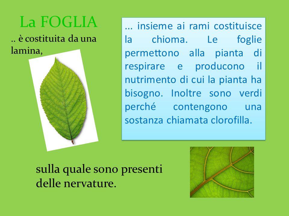 La FOGLIA sulla quale sono presenti delle nervature.... insieme ai rami costituisce la chioma. Le foglie permettono alla pianta di respirare e produco