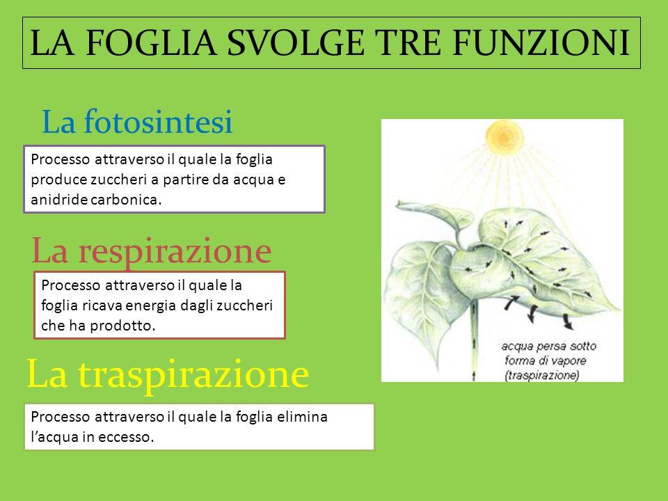 LA FOGLIA SVOLGE TRE FUNZIONI La fotosintesi La respirazione La traspirazione Processo attraverso il quale la foglia produce zuccheri a partire da acq