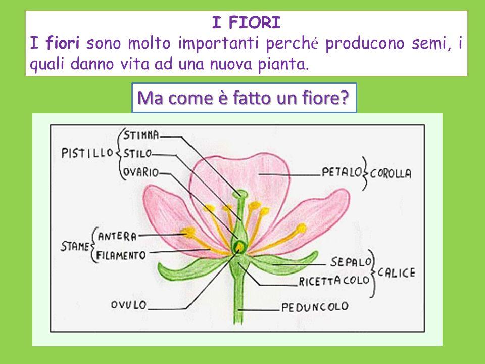 I FIORI I fiori sono molto importanti perch é producono semi, i quali danno vita ad una nuova pianta. Ma come è fatto un fiore?