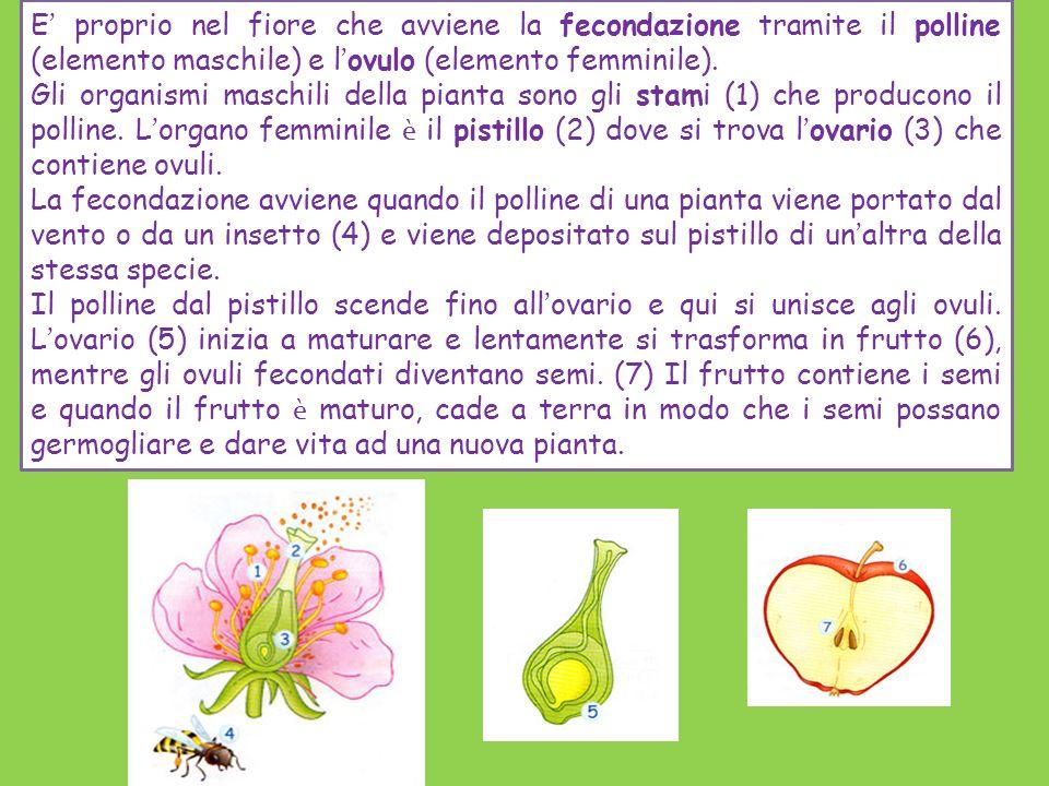 E ' proprio nel fiore che avviene la fecondazione tramite il polline (elemento maschile) e l ' ovulo (elemento femminile). Gli organismi maschili dell
