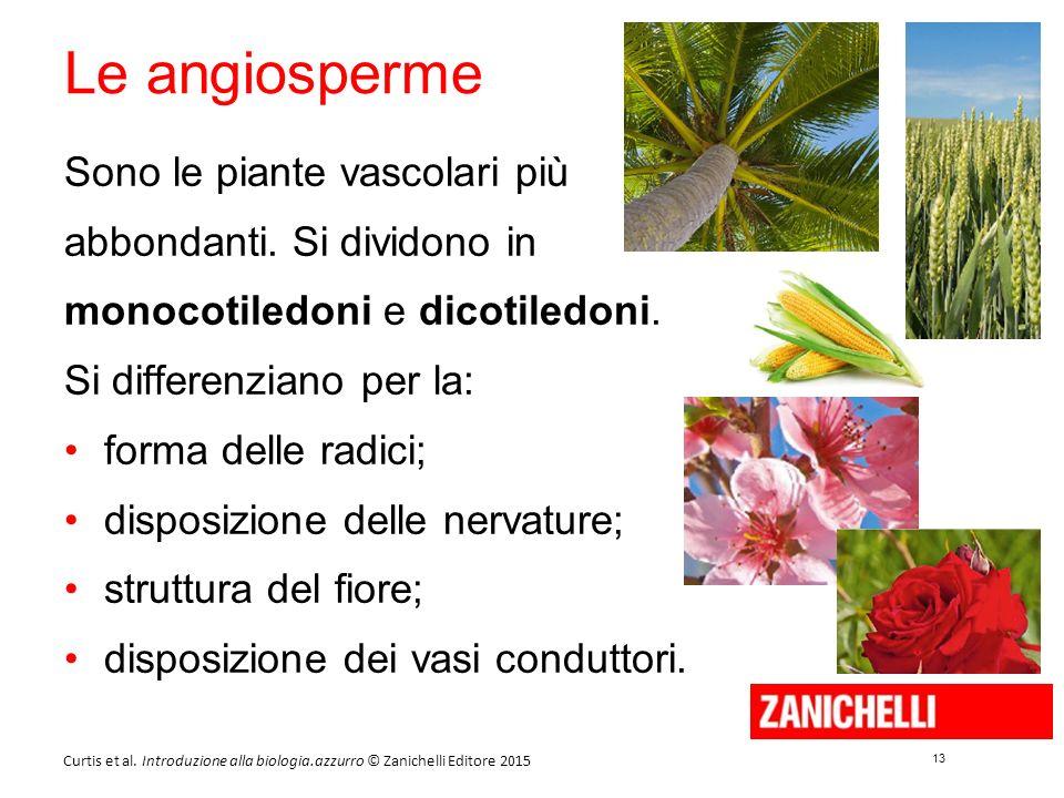 13 Curtis et al. Introduzione alla biologia.azzurro © Zanichelli Editore 2015 Le angiosperme Sono le piante vascolari più abbondanti. Si dividono in m
