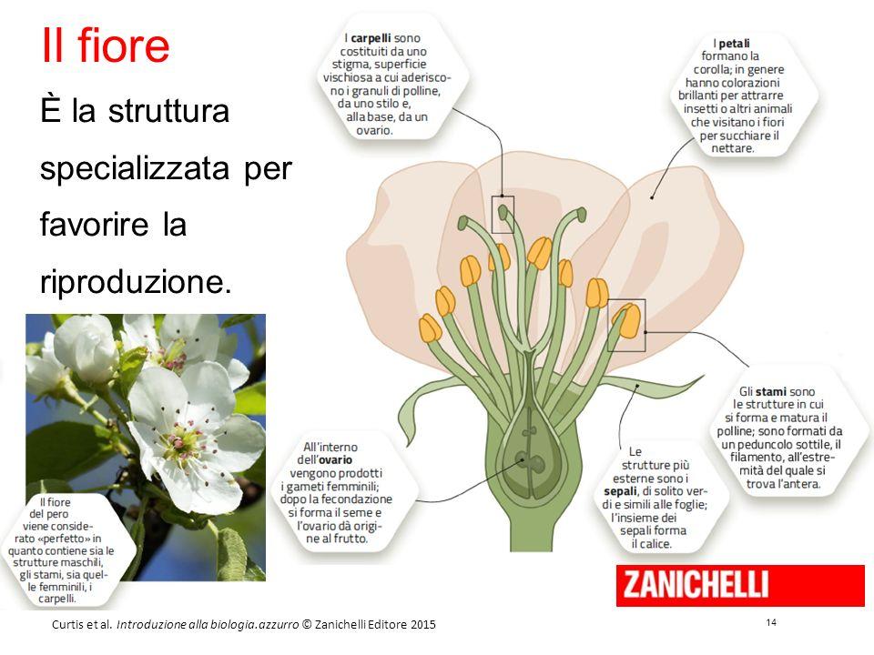 14 Curtis et al. Introduzione alla biologia.azzurro © Zanichelli Editore 2015 Il fiore È la struttura specializzata per favorire la riproduzione.