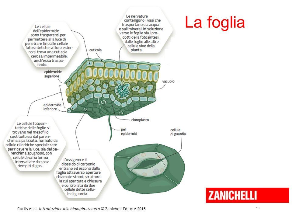 19 Curtis et al. Introduzione alla biologia.azzurro © Zanichelli Editore 2015 La foglia