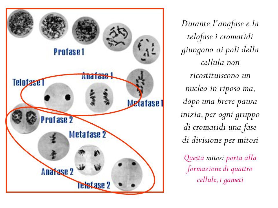 Durante l'anafase e la telofase i cromatidi giungono ai poli della cellula non ricostituiscono un nucleo in riposo ma, dopo una breve pausa inizia, per ogni gruppo di cromatidi una fase di divisione per mitosi Questa mitosi porta alla formazione di quattro cellule, i gameti